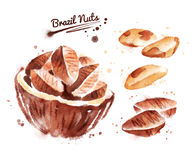 Watercolor illustration of brazil nut Stock Images