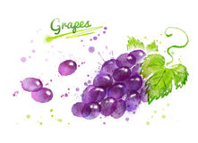 Watercolor illustration of bunch of black grape Royalty Free Stock Photo