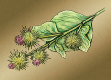 Watercolor illustration of Burdock plant. Hand drawn illustration digitally colored Royalty Free Stock Images