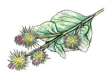 Watercolor illustration of Burdock plant. Hand drawn illustration. Watercolor painting Royalty Free Stock Photos