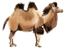 Watercolor illustration of a camel Royalty Free Stock Photos