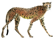 Watercolor illustration of Cheetah in white background. Royalty Free Stock Images