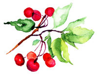 Watercolor illustration of cherry. Watercolor illustration of red cherry Stock Image