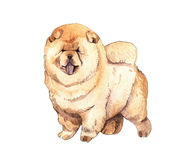 Watercolor illustration of Chow chow Stock Image