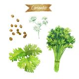Coriander flowers, leaves and seeds isolated on white watercolor illustration Stock Image