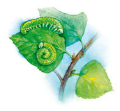 Watercolor illustration cimbex femorata Stock Image