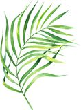 Watercolor illustration coconut palm leaf. Tropical palm leaf. stock illustration