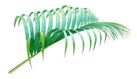 Watercolor illustration of the coconut palm leaf Royalty Free Stock Image