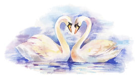 Watercolor illustration of couple of white swans Royalty Free Stock Images