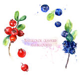 Watercolor illustration, cranberry  and blueberries Stock Photo