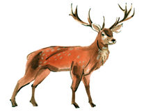 Watercolor illustration of deer in white background. Stock Images
