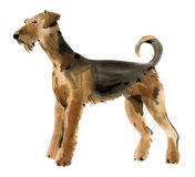 Watercolor illustration of dog Airedale terrier in white background. Royalty Free Stock Photos