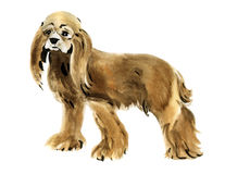 Watercolor illustration of dog American Cocker Spaniel  in white background. Royalty Free Stock Images