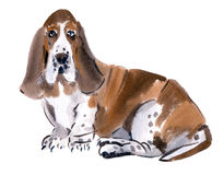 Watercolor illustration of  dog Basset hound in white background. Royalty Free Stock Photo