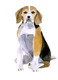 Watercolor illustration of a dog Beagle in white background. Royalty Free Stock Images