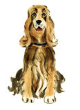 Watercolor illustration of dog English Cocker Spaniel  in white background. Stock Photo