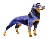 Watercolor illustration of a dog Rottweiler in white background. Royalty Free Stock Photo
