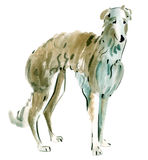 Watercolor illustration of dog Russian borzoi in white background. Stock Photos