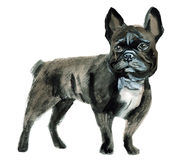 Watercolor illustration of a dog in white background. Stock Image