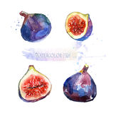 Watercolor illustration of figs. Ripe figs on white background. Tasty fruits for design Stock Photos