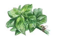 Watercolor illustration of fresh Basil leaves isolated on white background. Watercolor illustration of fresh Basil leaves isolated on white background royalty free illustration