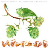 Branch with green leaves. hops watercolor illustration. Watercolor illustration of fresh branch with green leaves isolated on white background Stock Images