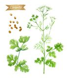 Coriander plant with flowers,  leaves and seeds isolated on white watercolor illustration Stock Photography