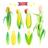 Watercolor illustration of fresh maize plant, ears, leaves and seeds isolated on white background with clipping paths. Watercolor illustration of fresh maize Royalty Free Stock Photography