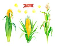 Watercolor illustration of fresh maize plant, ears and seeds isolated on white background with clipping paths Stock Photos