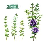 Thyme  twigs and flowers watercolor illustration with clipping paths Stock Photos