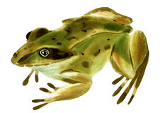Watercolor illustration of frog in white background. Royalty Free Stock Images