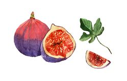 Watercolor painting on white background of fruit fig Royalty Free Stock Images