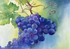 Watercolor illustration of grapes with leaves Royalty Free Stock Photography