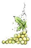 Watercolor illustration - green grapes. Watercolor vector illustration - green grapes Stock Images
