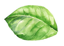 Watercolor illustration of green leaf on white Stock Image