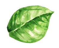 Watercolor illustration of green leaf on white Royalty Free Stock Photos