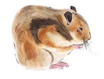 Watercolor illustration of hamster in white background. Royalty Free Stock Photos