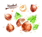 Watercolor illustration of hazelnut Royalty Free Stock Photos