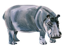 Watercolor illustration of Hippo in white background. Stock Photography