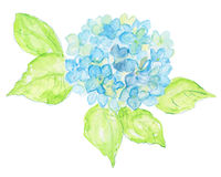 Watercolor illustration of hydrangea flowers. Royalty Free Stock Images