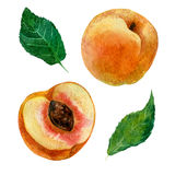 Watercolor illustration, an image of a fruit of a peach, a cut peach and leaves. Royalty Free Stock Images