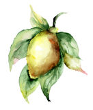 Watercolor illustration of Lemon Stock Images