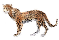 Watercolor illustration of a  leopard in white background. Royalty Free Stock Photography