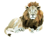 Watercolor illustration of a lion Stock Images