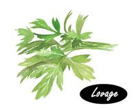 Watercolor illustration of lovage.  Levisticum officinale. Stock Photo