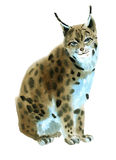Watercolor illustration of lynx in white background. Royalty Free Stock Photos