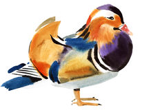 Watercolor illustration of Mandarin duck Royalty Free Stock Photo