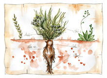 Watercolor illustration of Mandrake plant Stock Image