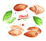 Watercolor Illustration Of Almond Nut Royalty Free Stock Photo