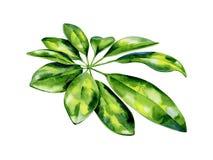 Free Watercolor Illustration Of Schefflera Arboricola Plant Tropical Leaves Royalty Free Stock Image - 137339556